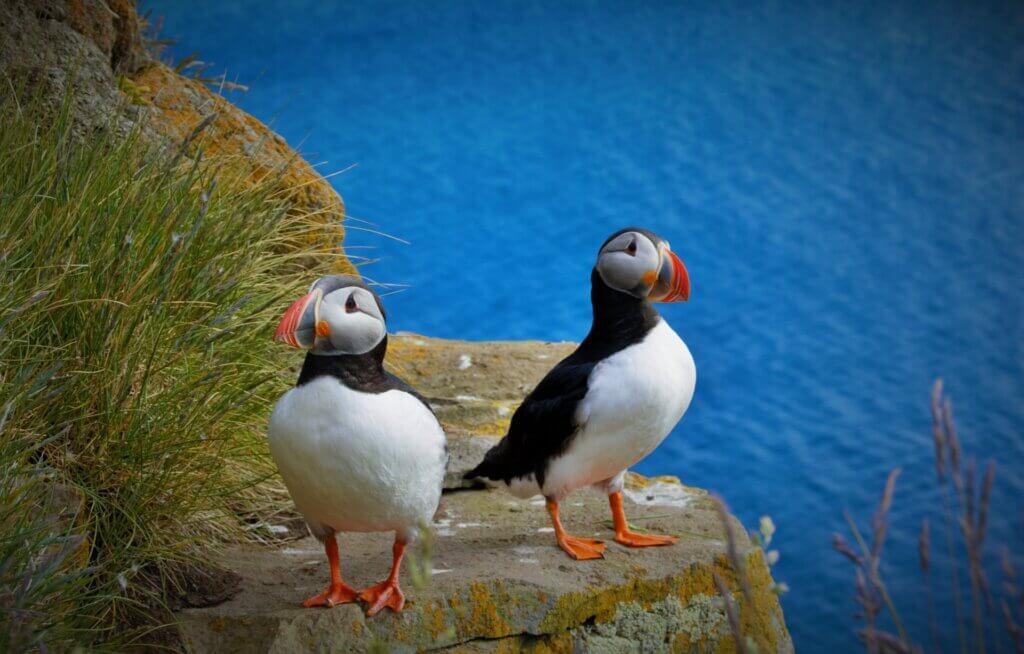 Faröer-Inseln: Papageientaucher auf Vágar