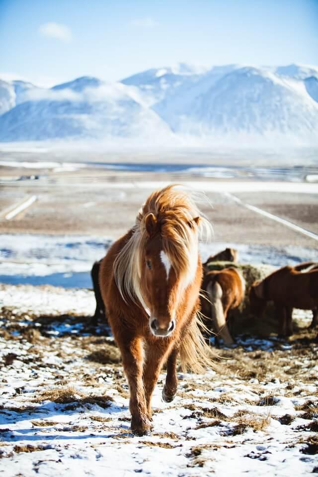 Isländische Namen für Pferde