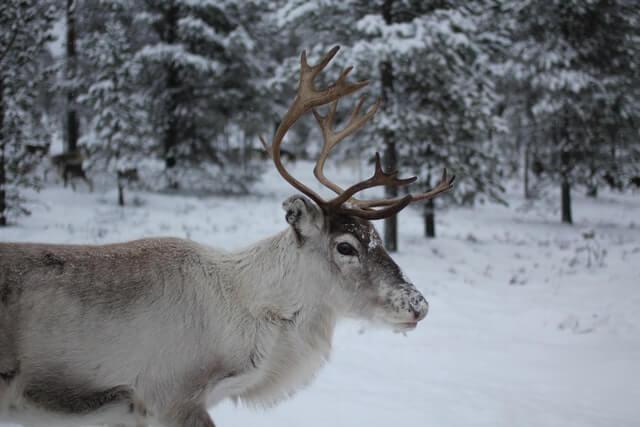 Samische Kultur: Die Rentierwirtschaft