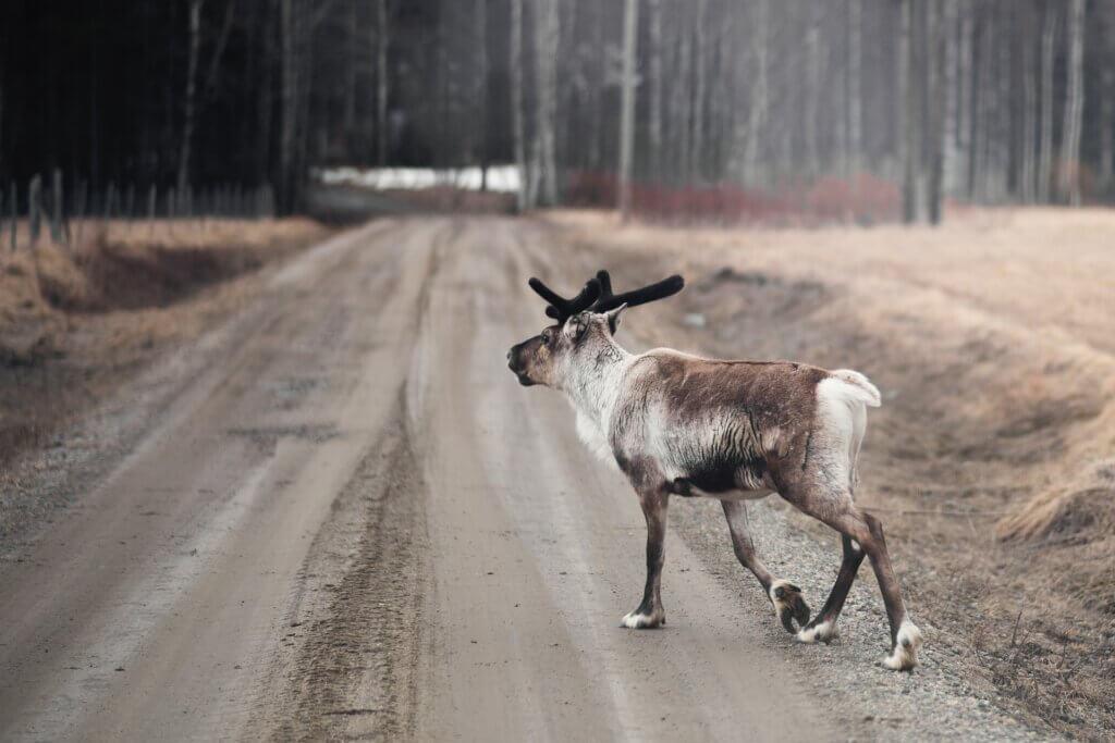 Schwedisch Lappland Natur Rentier