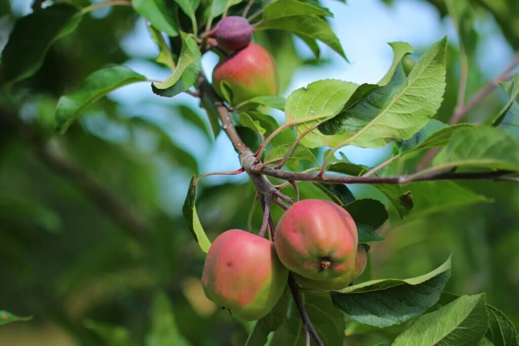 Apfelplantagen in Skåne