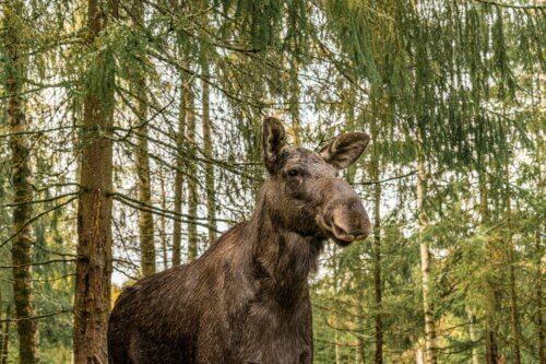 Vimmerby: Elchpark